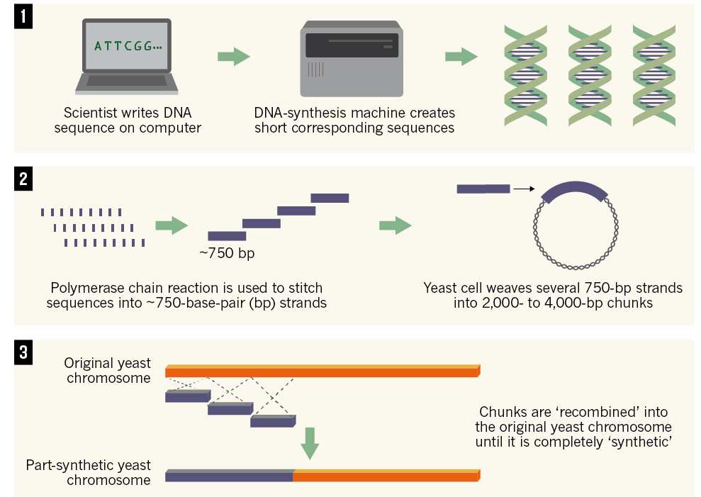 nature-yeast-chromosome