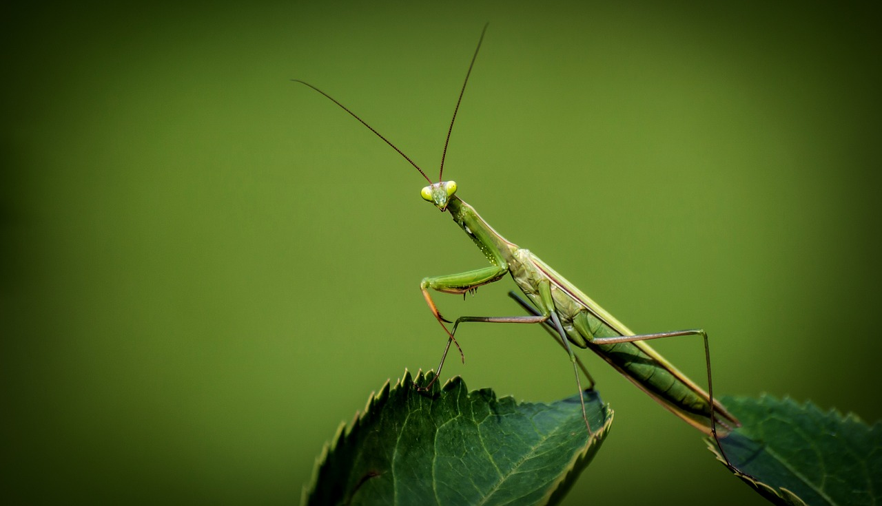 praying-mantis-1170776_1280.jpg